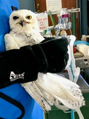 A sick and injured snowy owl at Raptor Rehabilitation