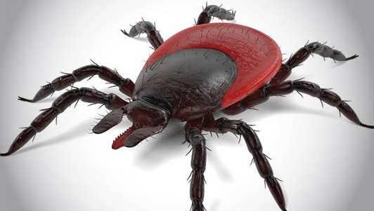 When checking for ticks, pay close attention to the groin, armpits, scalp and the backs of legs, arms and neck.