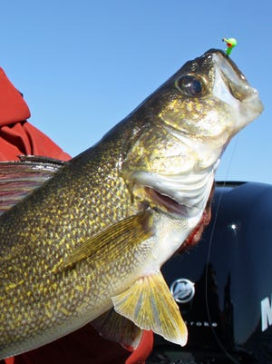 The total allocation for Mille Lacs walleyes in 2016 is 40,000 pounds, including a tribal share of 11,400 pounds.