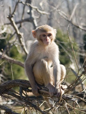 Rhesus macaques are the type of monkey potentially exposed to the bacteria.
