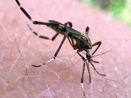 Figure 2. An adult female Psorophora ciliata blood-feeding.