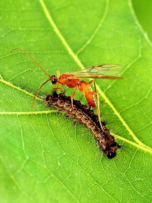 parasitic_wasp_usda