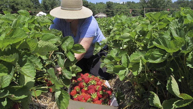 Renovation, fertilizer and irrigation all help to keep a strawberry patch healthy until next year's harvest. Here, Beth Albright picks strawberries at Paul Mazza's Fruit and Vegetables in Essex, Vt.