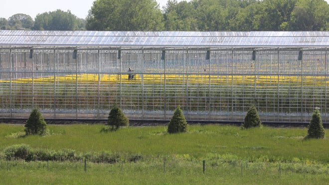 Green Empire Farms has two large greenhouses.  Workers can be seen inside working Thursday, Jun 4 2020.  Green Empire Farms is building housing on the premises for their workers.  A lone worker makes his way down a row on a lift.