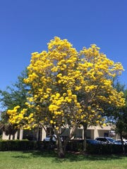 Marge Drury took this photo of a yellow tabebuia at Wedgewood Commons Shopping Center in Stuart.