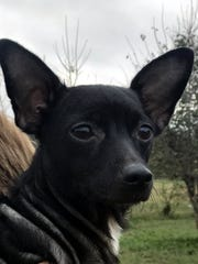 Minnie is an 8-month-old, spayed female Chihuahua.