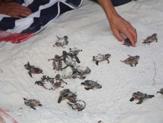 A nest of baby loggerhead sea turtles hatched on Pensacola Beach on Aug. 18, 2014.