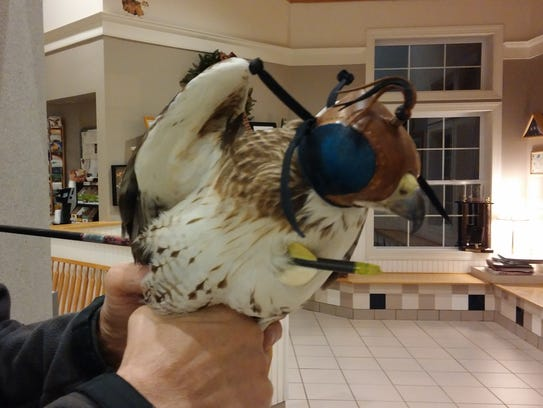 This injured red-tailed hawk, which survived at least