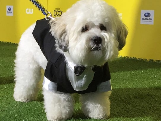 Hank walks the green carpet at the World Dog Awards