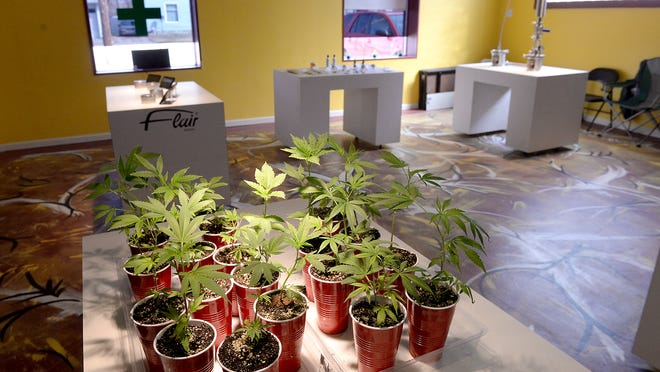 About 20 marijuana plants sit on a table Wednesday, April 1, 2015, at Puff-n-Stuff on Grand River Avenue in Lansing. The dispensory sells plants, harvested marijuana, edibles and other products.