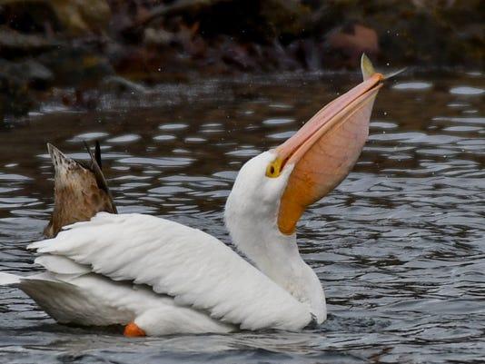 Pelican-Fish.jpg