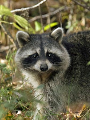 A raccoon found in Middletown has tested positive for rabies.