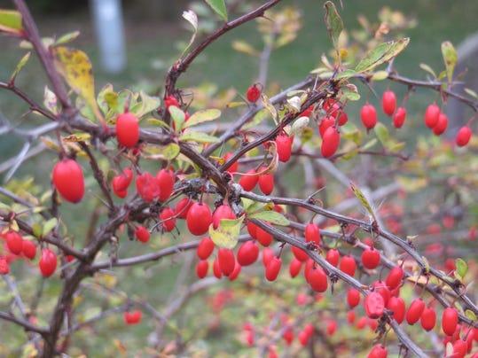 japanese barberry.JPG