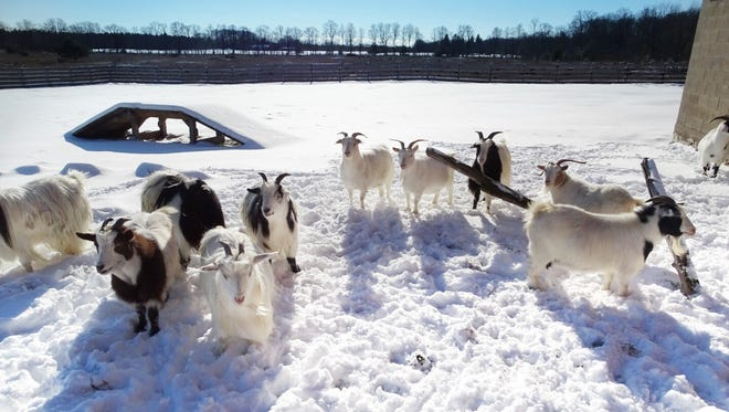 Goats enjoy some winter sunshine at the Johnson family farm; you won't find them on the restaurant roof when it's cold.