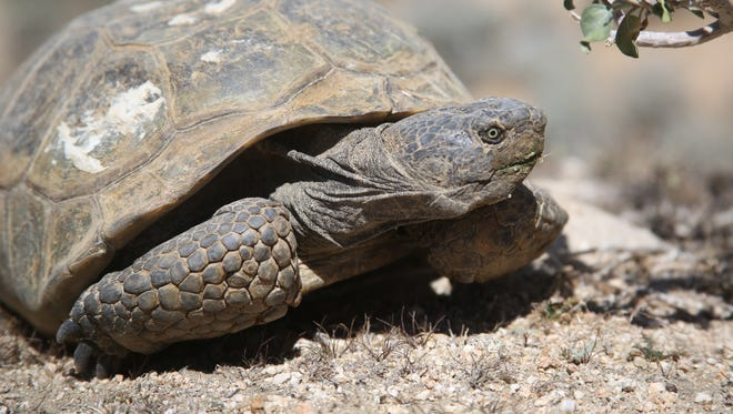 A desert tortoise is seen at the Mesa Wind Farm near Whitewater. Some scientists say global warming is putting new stresses on tortoises and could dramatically reduce their habitats.