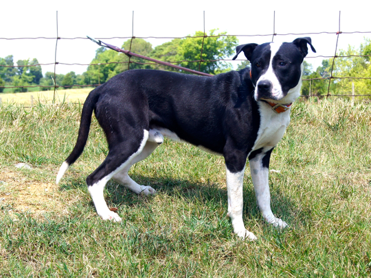 Forrester is a 1 year old black and white bird dog/terrier