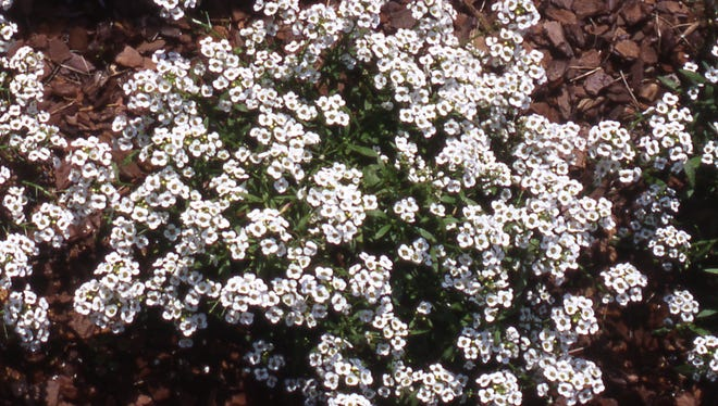 Sweet Alyssum is known as Lobularia maritima to scientists and horticulturists and is classified in the same plant family as cabbage, kale, Brussels sprouts and broccoli—the Brassicaceae.