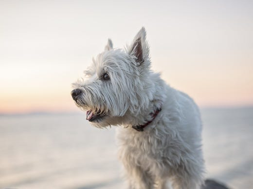 42. West Highland white terriers • 2016 rank: 41 •