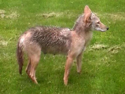 -Coyote.jpg_20150630.jpg