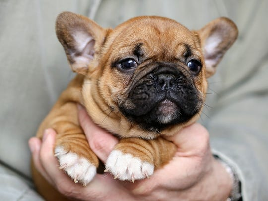 Cute French Bulldog puppy held in hands.