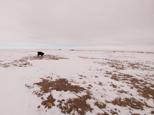A cow with nothing but rocks to eat at the snow-covered