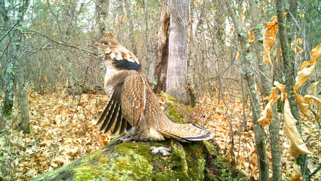 Ruffed grouse on his drumming log at Marinette County. Enter your trail camera photos in our monthly contest, sponsored by Mills Fleet Farm.