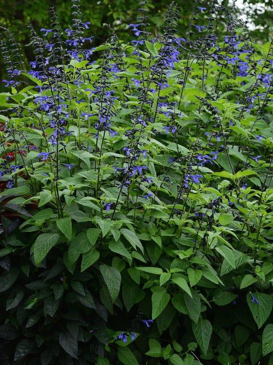Salvia_Black__Bloom_Garden_11793