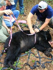 Auburn University researchers record data from a tranquilized black bear.