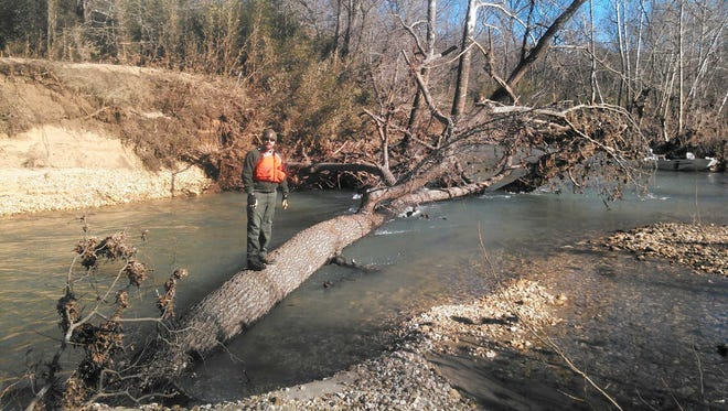 This is the huge tree more than 2 feet thick that's blocking the width of the Buffalo River just below the Ozark Campground. Park rangers plan to try to remove it Thursday.