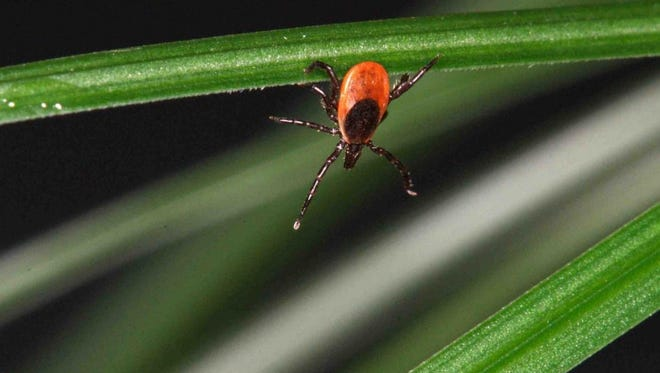 Deer ticks, also known as black-legged ticks, are noticeably smaller than wood ticks, making them more difficult to spot.