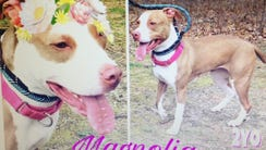 Magnolia, the 2-year-old pit mix found tied to a tree