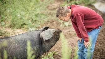 Gabriel Dykema of Dominion Valley Farm checks out one of his family's floppy-eared Large Black heritage pigs on pasture.