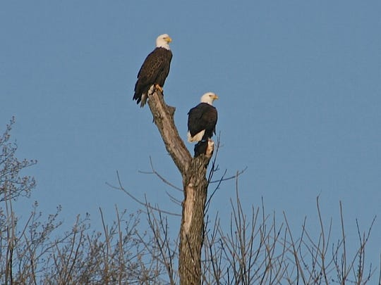 These two bald eagles were spotted near Townsend by a reader on December 2, 2014.