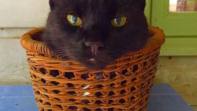 Bosco -- the big, loud-purring black cat.