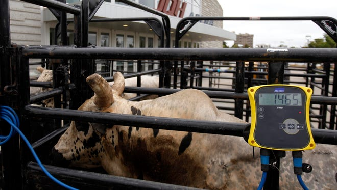 BootDaddy, a bull owned by PFI owner Randy Little that competes in the PBR, weighs-in in front of JQH Arena at 1,465 pounds on Thursday, Sept. 11, 2014. BootDaddy weighed-in against six members of the MSU football offensive line which weighed 1,825 pounds.