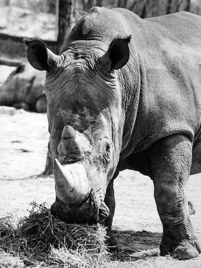 1975: A rhino at the Safari at Great Adventure.