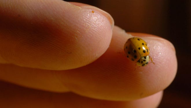 Asian lady beetles resemble the native lady bug but are a little larger and orange in color instead of red.