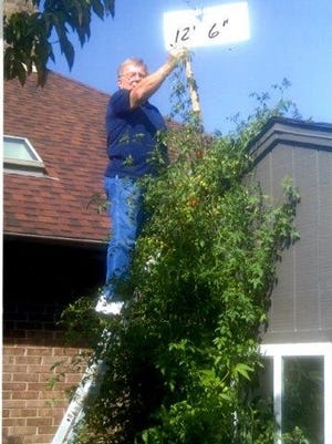 Carl Westlund says that since his wife took this photo two weeks ago, his tomato plant has topped 13 feet.