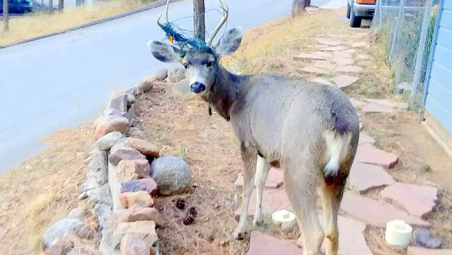 Ramona Rhoades snapped a shot of a mule deer buck in Ruidoso with Christmas lights wrapped around his antlers. If he's lucky, the electrical wires won't entangle him in a life threatening situation and in the spring, he can shed the antlers and be free from the unwanted decorations.