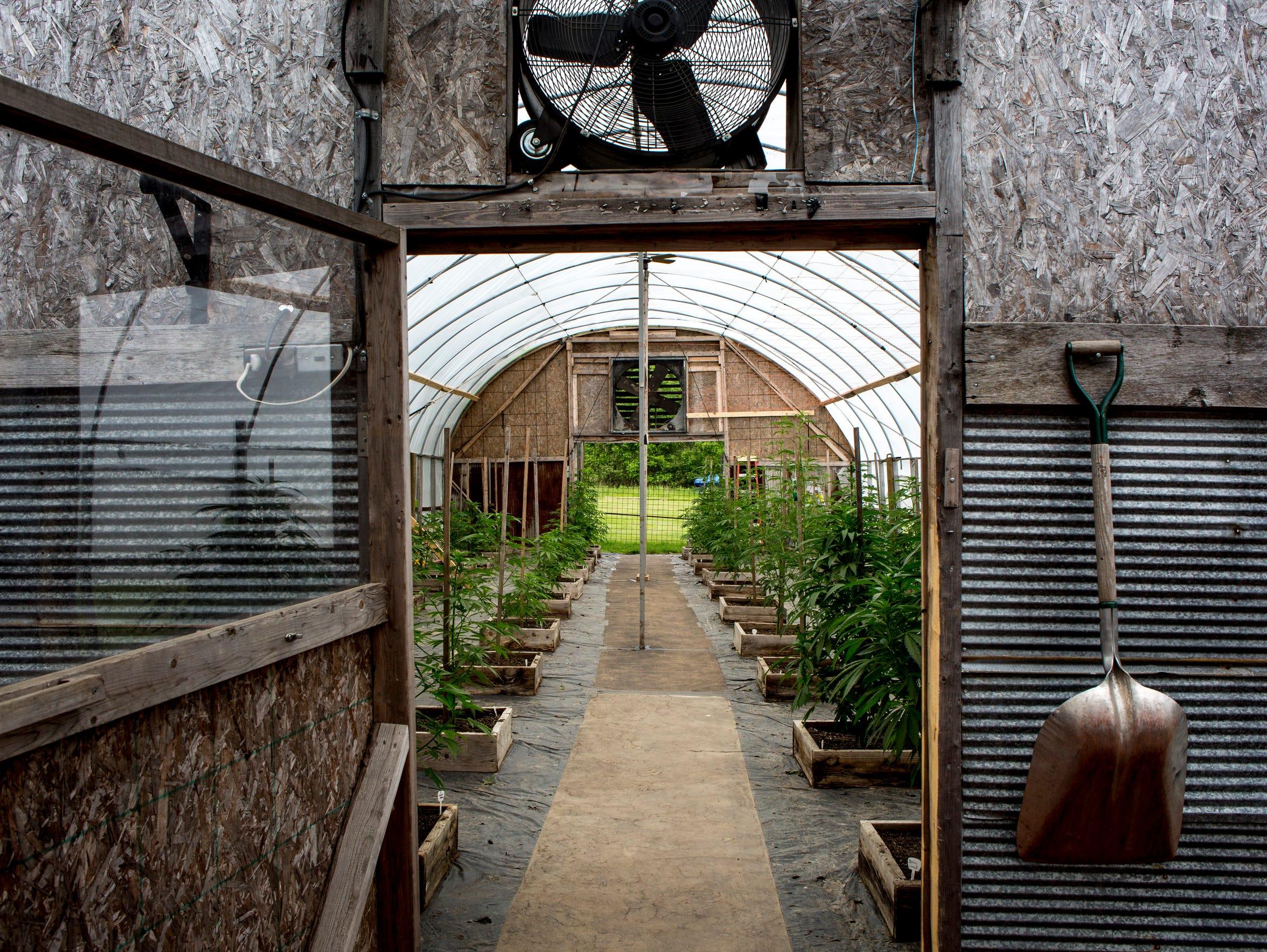 Medical marijuana plants are seen growing at Tom Owens'