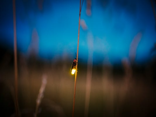 Firefly blurred flying at dusk while lighting up