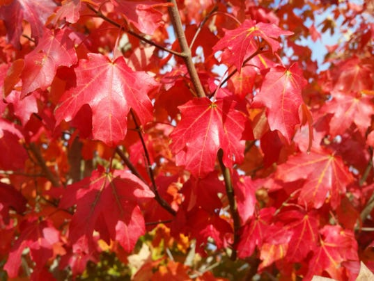 Mesa Glow maple leaf crimson.jpg