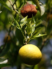 Citrus greening can affect parts of a tree, leading to healthy and damaged fruit growing on the same tree.