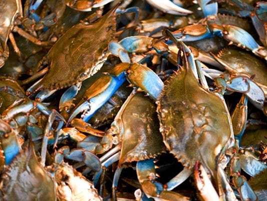 Survey shows number of blue crabs in Chesapeake Bay rising