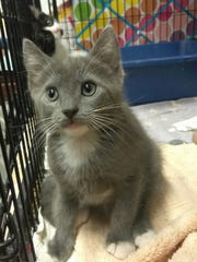 Blake is an 8-week=old female, gray and white kitten. Blake and her two sisters are just starting to develop their own individual personalities. They are up for adoption through Another Chance Animal Welfare League. For more information call us at 547-7387.