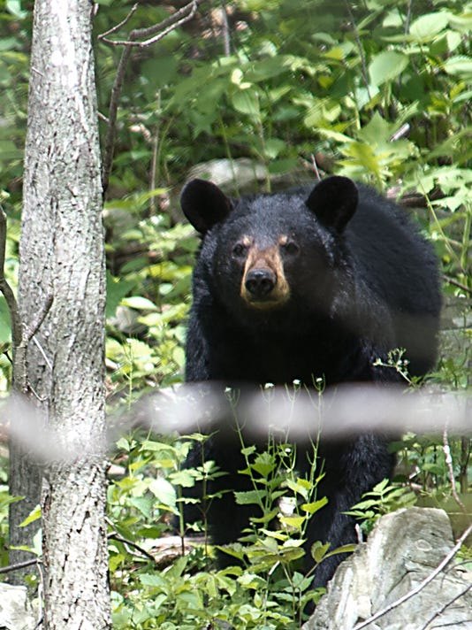 A black bear is seen in the Shenandoah N