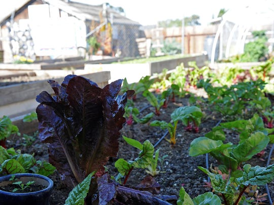 Leafy greens grow at Rescate Verde (Green Rescue) community garden, almost invisible behind the Morelias 99c store on E. Market St. in Salinas.