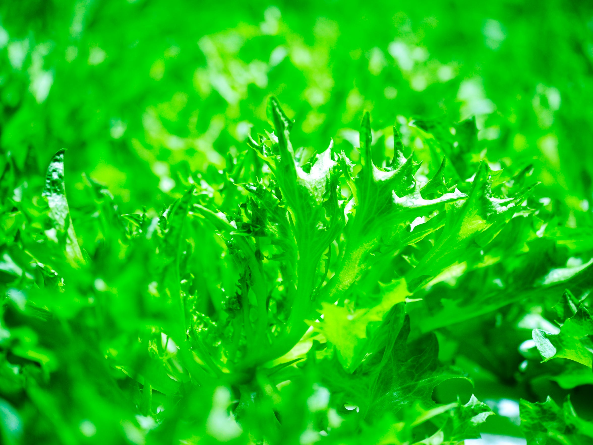 Red Sweet greens growing in water at Greener Roots