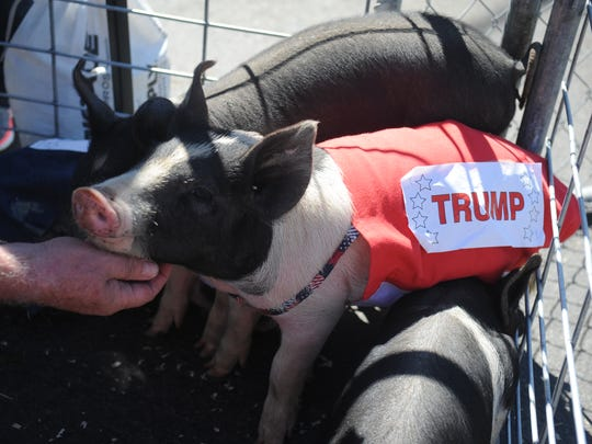 Two piglets raced for the election during the Presidential Pig Races at the Best in the West Nugget Rib Cook-Off on Sept. 1, 2016.