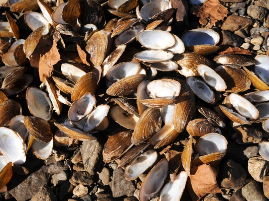 The shells of dead pheasantshell mussels are collected on the bank of the Clinch River Friday, Nov. 11, 2016, in Kyles Ford, Tenn. A dozen or so mussels where sent off to a USGS lab in Madison, Wis., for analysis. Mussel biologist Steve Ahlstedt said tests on the mussels themselves showed nothing. He is awaiting results on sediment tests.